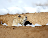 Prairie Dog Peek