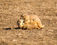 Prairie Dog Antics