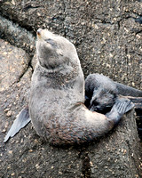Fur Seal Nursing