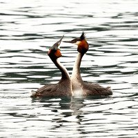 Australasian Crested Grebes
