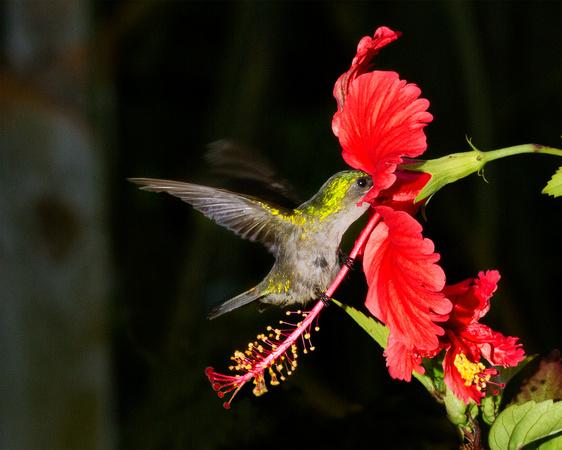 Paul Nguyen Photography Vieques Puerto Rico Hummingbird And